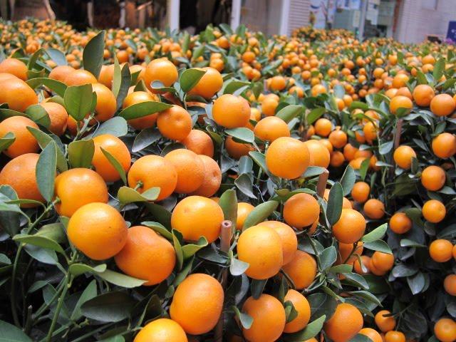 Kumquats, Flower Market, Guangzhou
