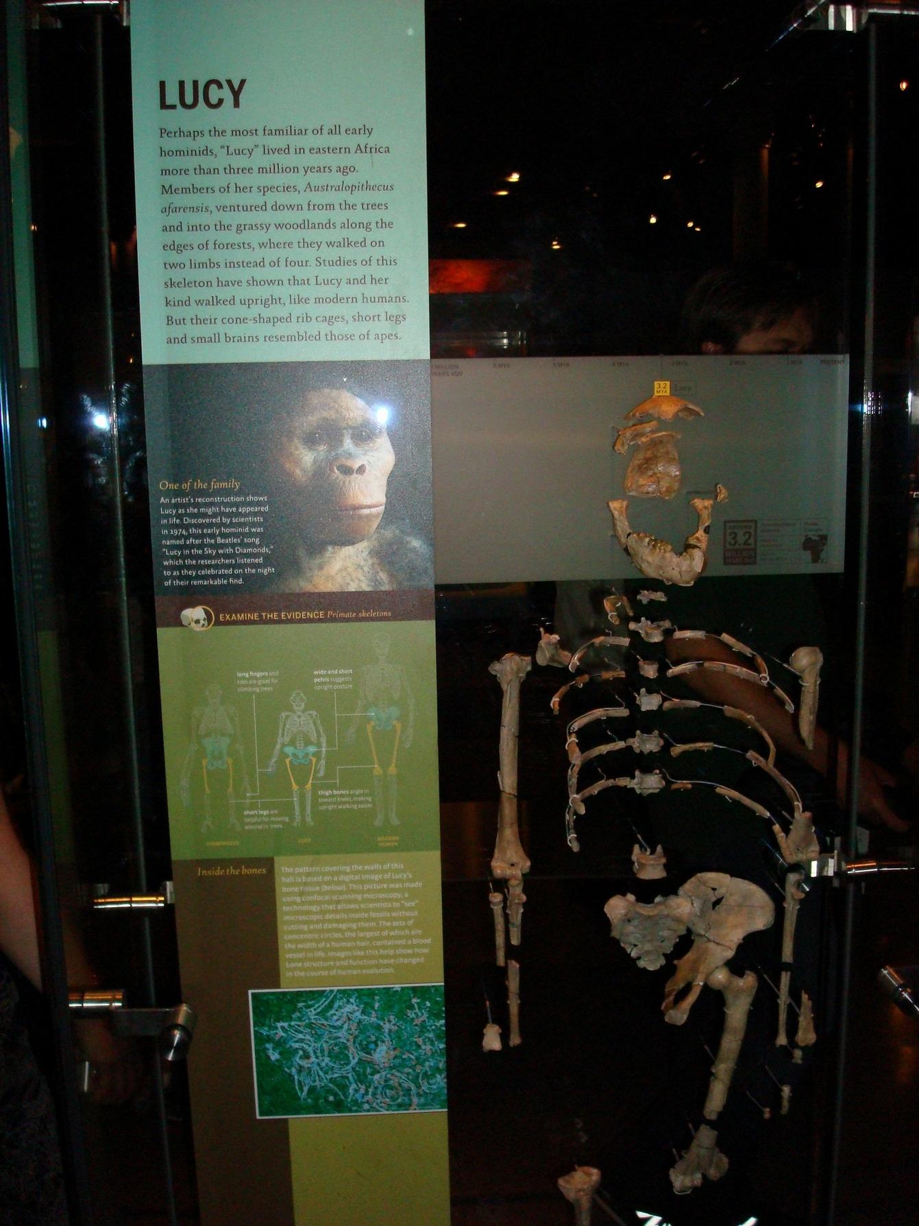 New York City, AMNH, Lucy, the First Human Australopithecus