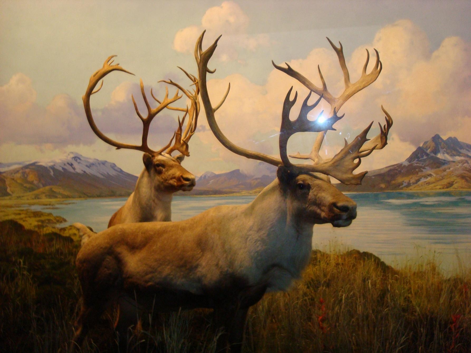 New York City, AMNH, Museum Animals, Deer