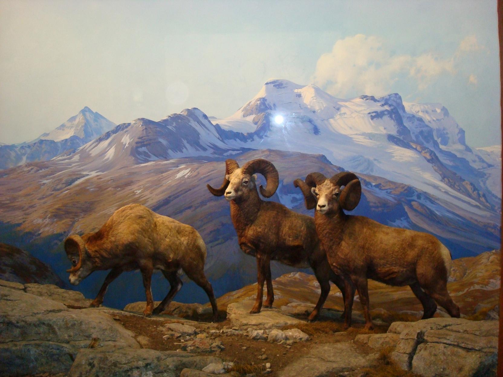 New York City_AMNH_MuseumAnimalsRams