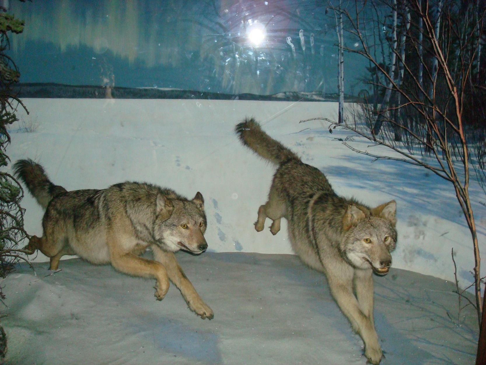 New York City_AMNH_MuseumAnimalsWolves