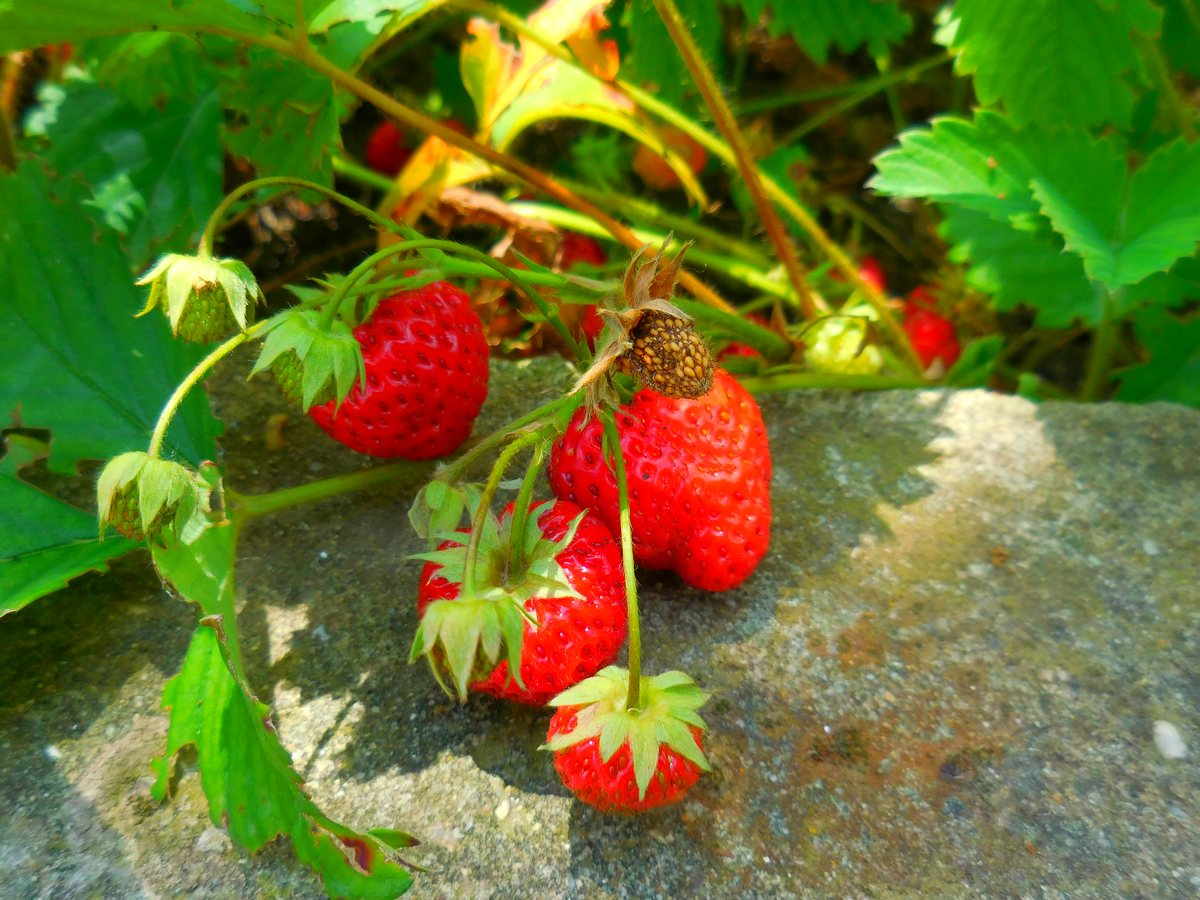 Bulgarian Fruits and Vegetables, Home-Grown Strawberries, Red Royalties, Slavianovo, Pleven
