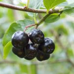 Aronia Berry Fruit, Featured Image, Superfruit Credit - Wikipedia